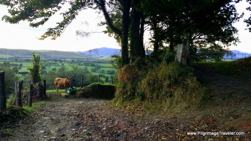 Cow Stops Her Meal to Gaze at us Walking By, Camino Primitivo, Asturias, Spain