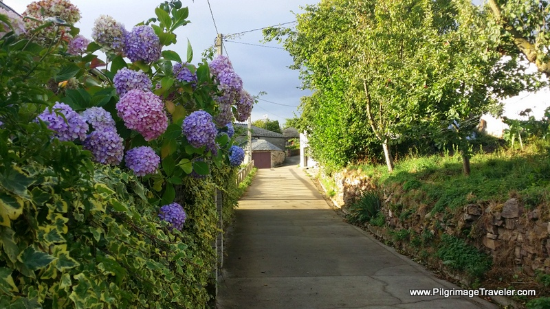 Hydrangeas Greet the Peregrinas And Invite Them to Take the Lane