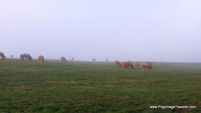 Cows at Pasture Add to the Serenity of the Morning in Galicia, Spain