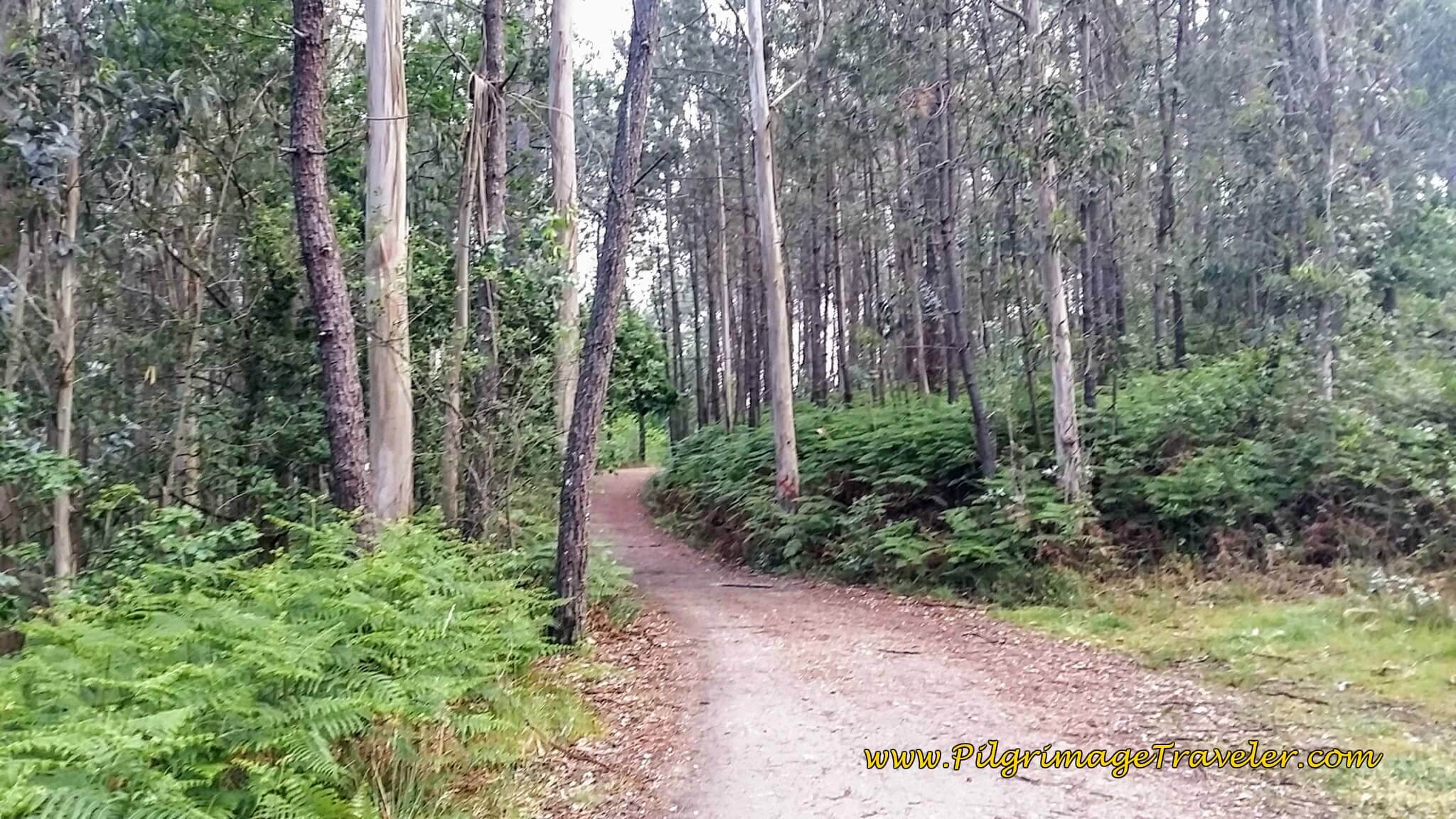 Onward of Forest Path, day twenty-two on the Camino Portugués