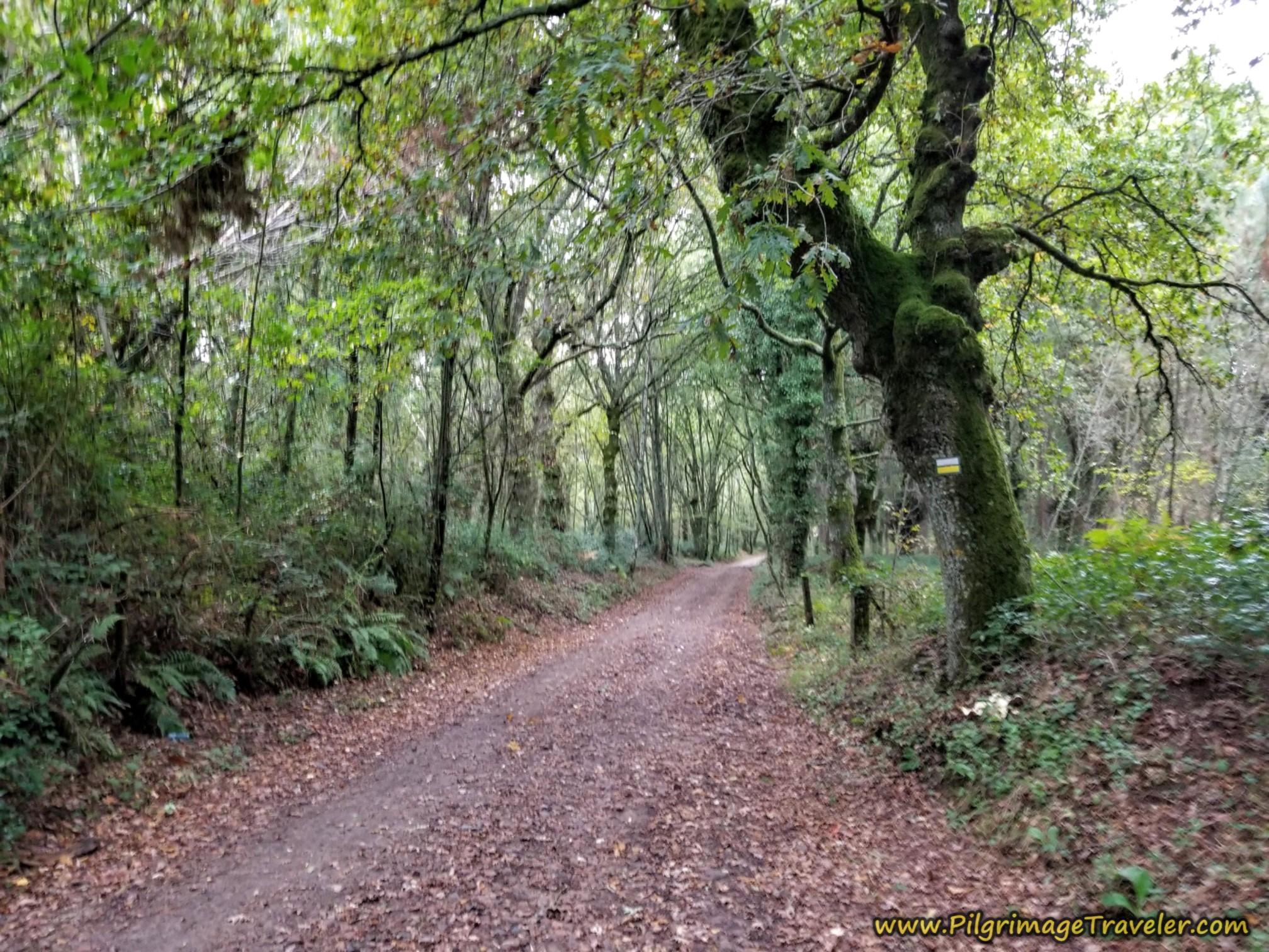 Another Forest Section on the Camino Sanabrés, Estación de Lalín to Bandeira