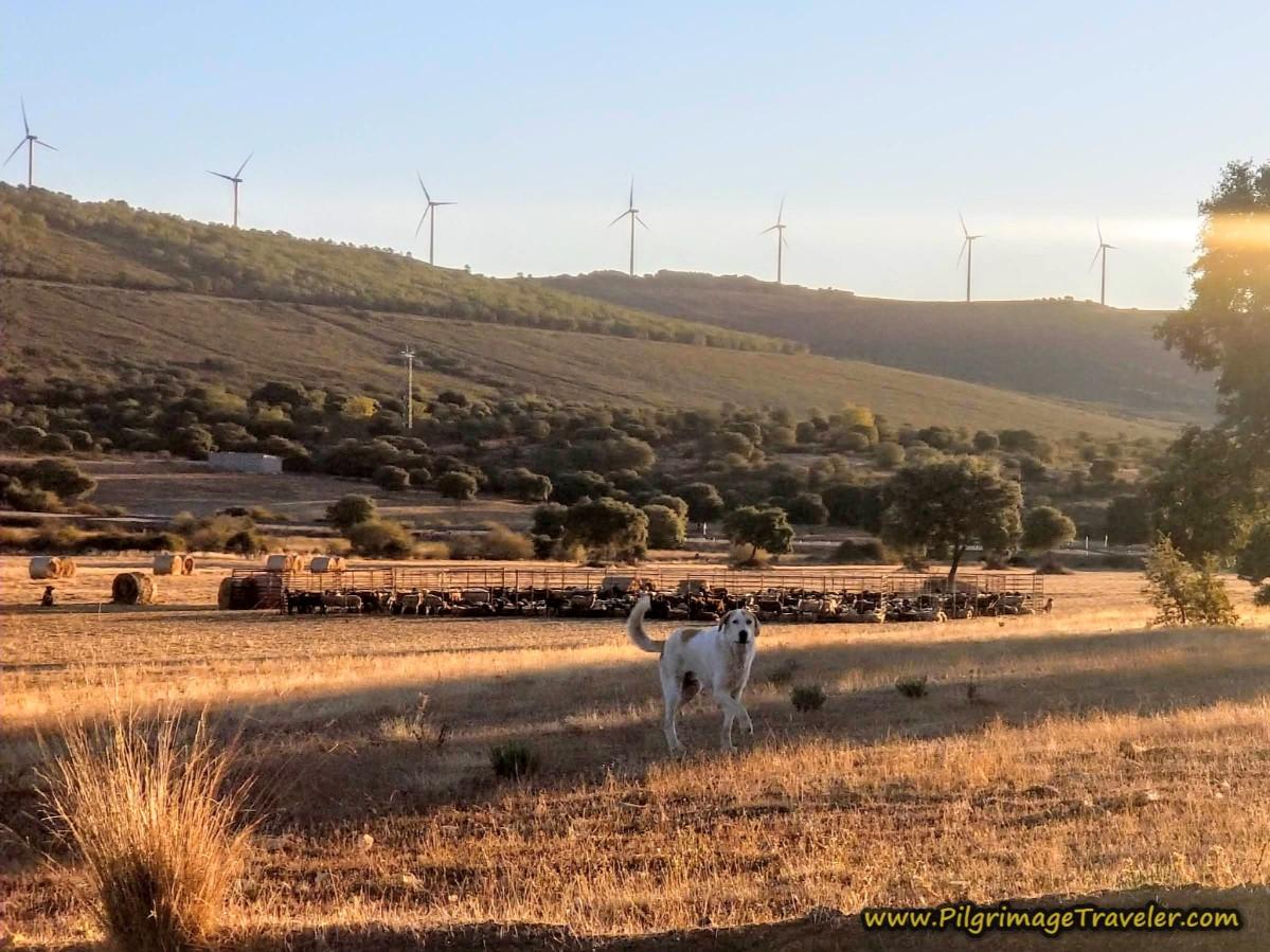 Menacing Sheep Dogs