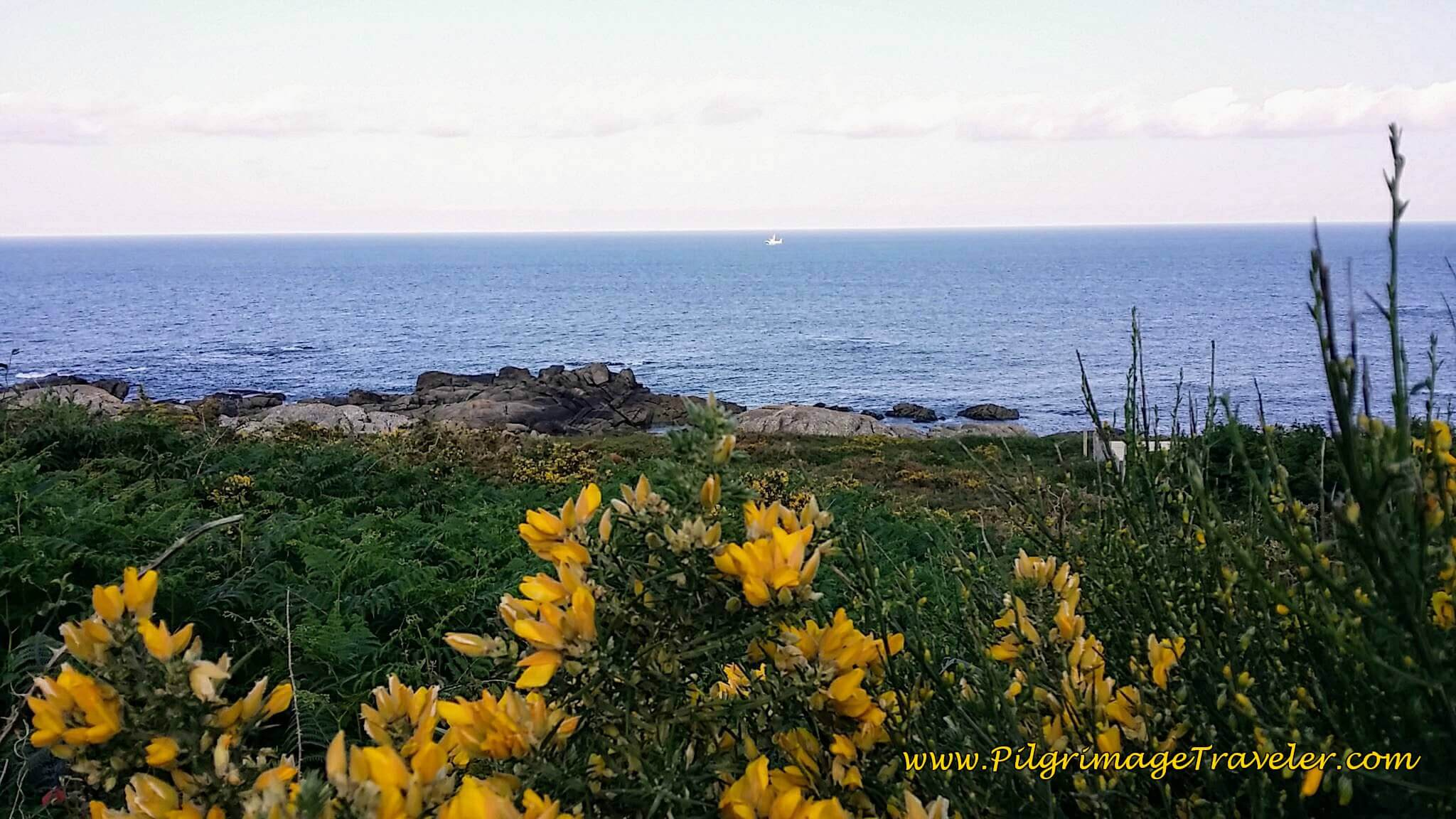Lovely bush with yellow blooms in spring along the Spanish coastline north of Mougás, on day twenty, Camino Portugués.