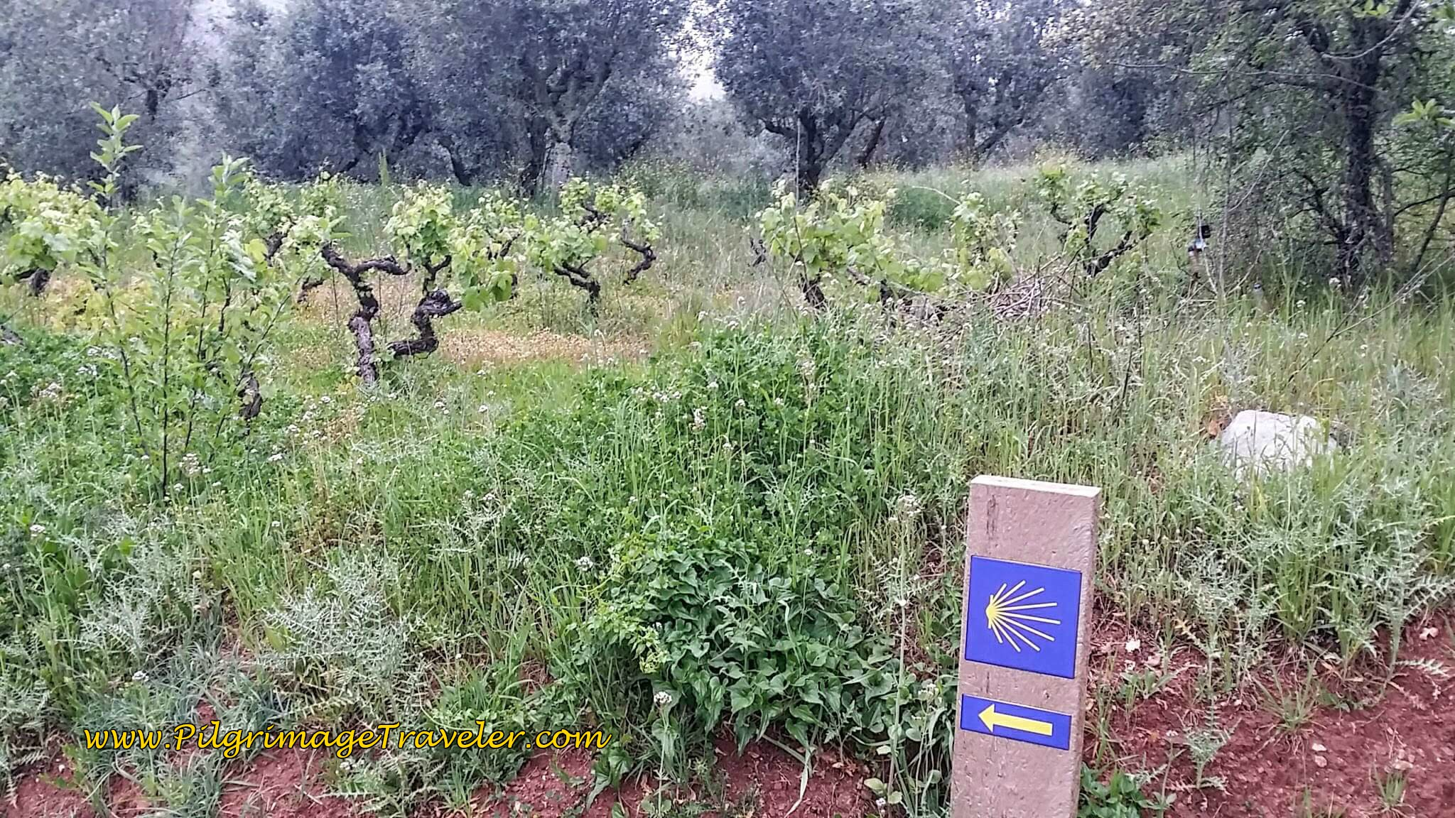 Waymark and Young Grapevines