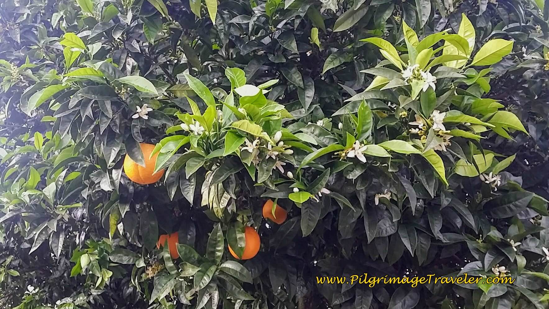 Oranges and Blooms on Same Tree