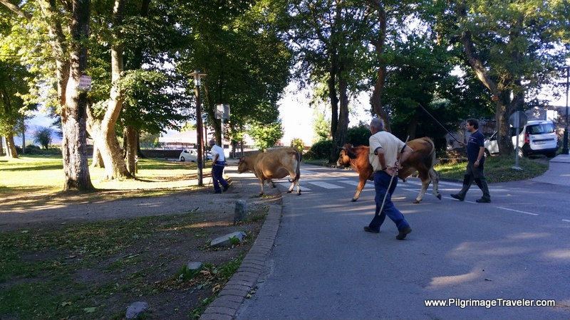 Cattle Crossing Thru Town by the Capilla de San Roque, on the Camino Primitivo
