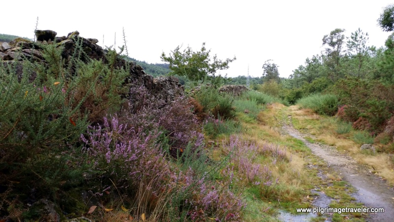 Heather-Lined Stone Walls on the Path to Monte Pedroso, Galicia, Spain