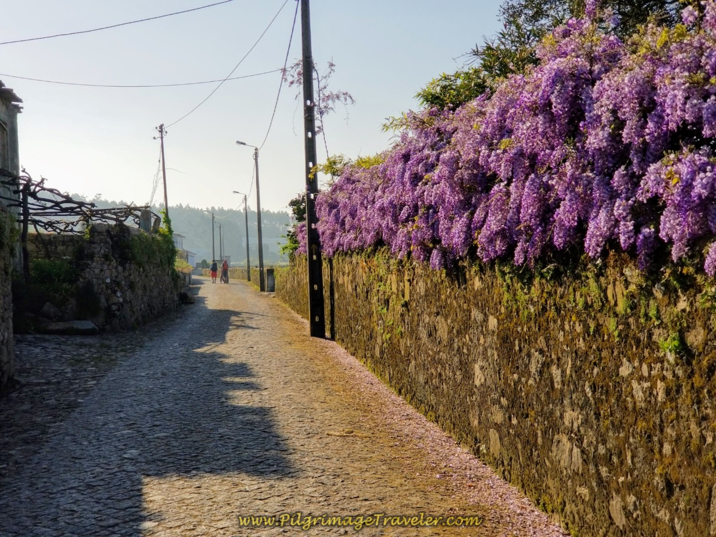 Lovely, Painful Cobblestone Roads with Abundant Wisteria  on day sixteen on the Central Route of the Camino Portugués