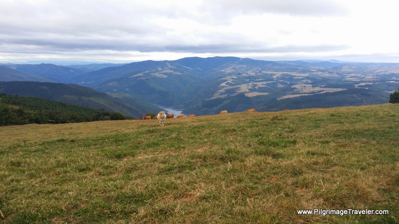 The Tinkle of Cow Bells Charm the Lofty View of the Embalse de Salime, Asturias, Spain