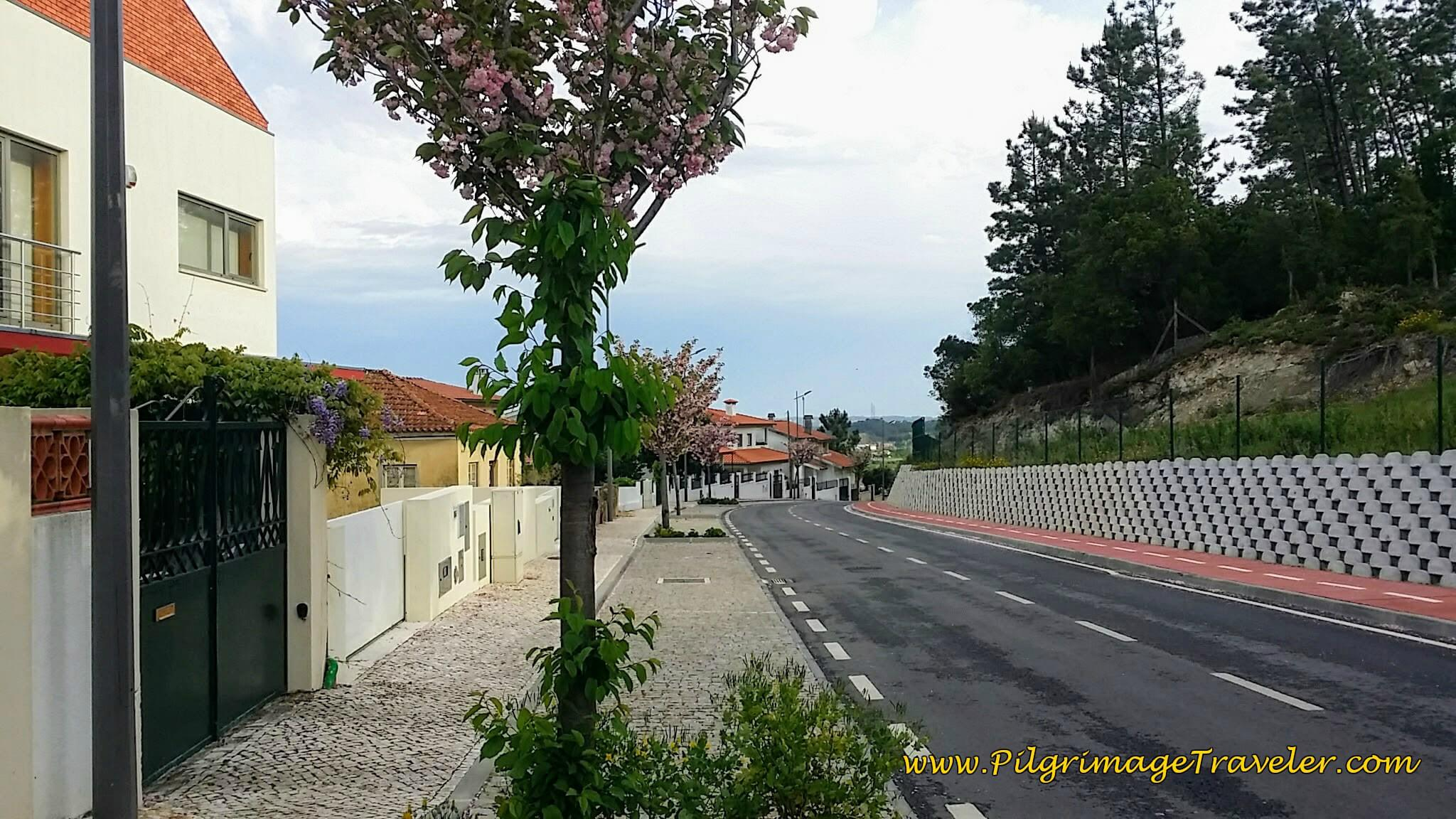 Spring Blooming Tree Lined Street on the Portuguese Camino