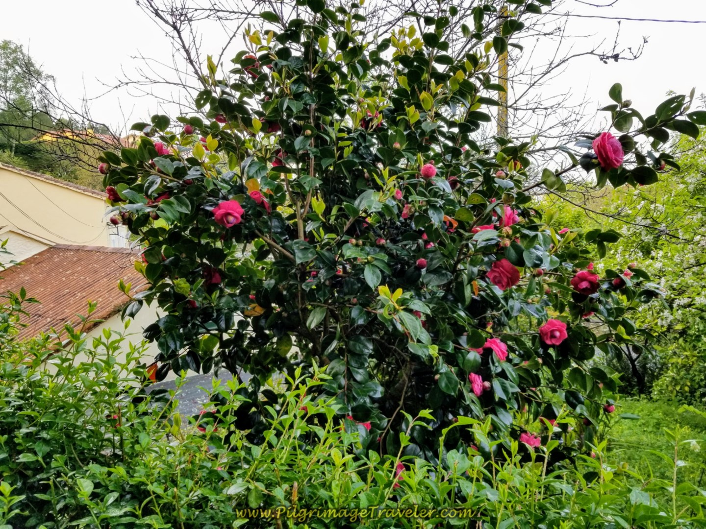 Red Camellia Bush on day two of the Camino Inglés