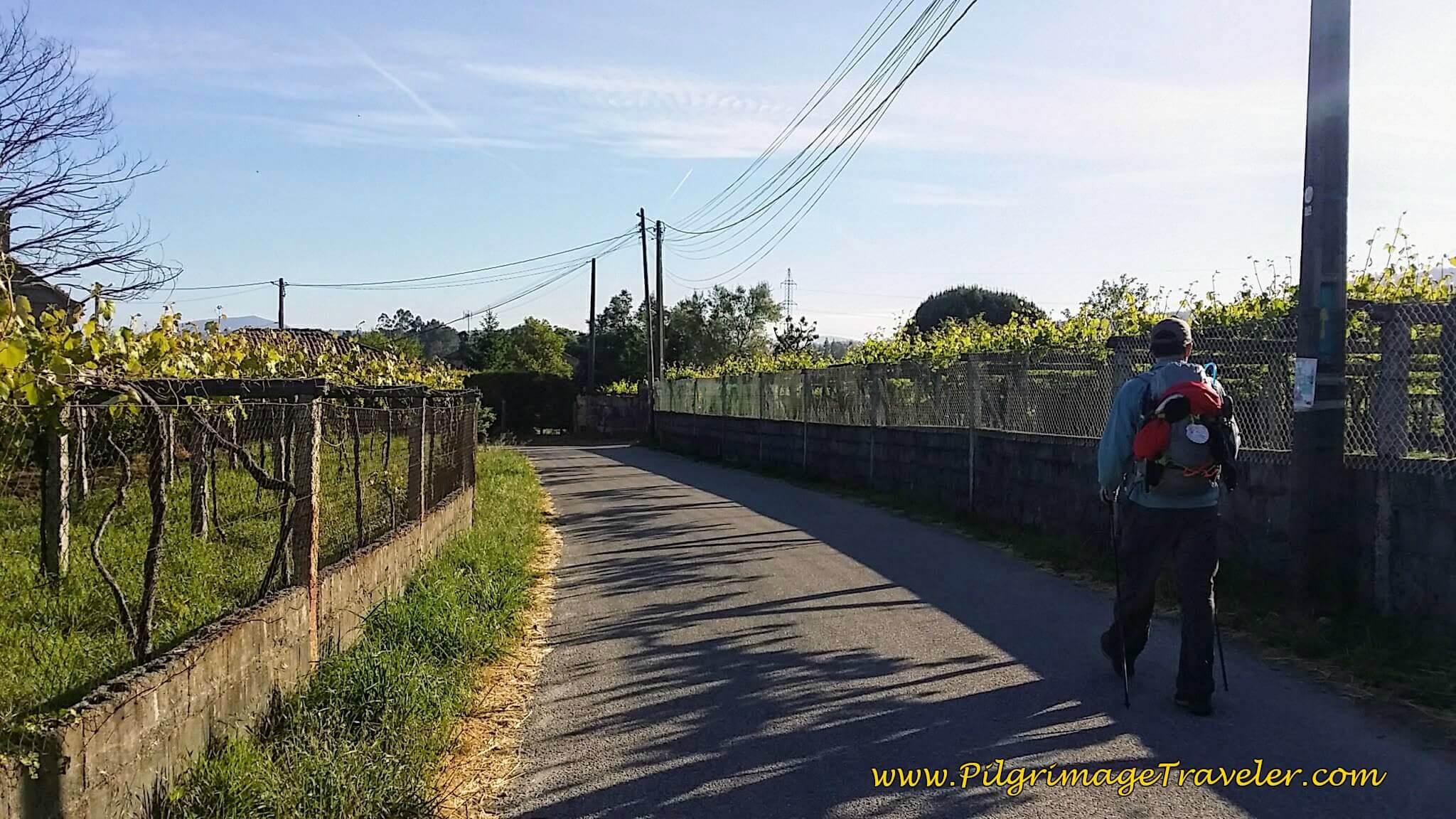 Walking Through Vineyards on the Rúa Areal on day twenty-three, Camino Portugués