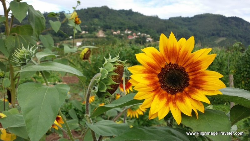 Sunflowers Greet Us Along the Way, Camino Primitivo