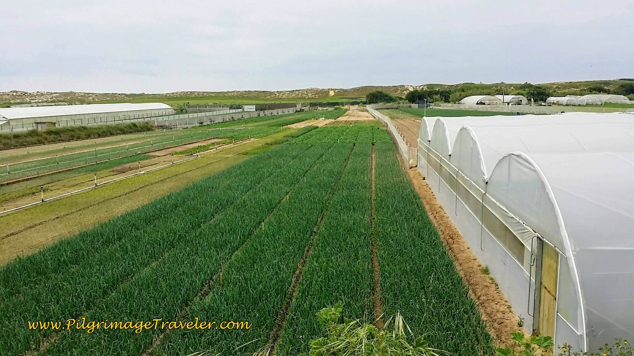 Greenhouses and Onion Fields along the M501 on day sixteen of the Portuguese Way on the Coastal Route