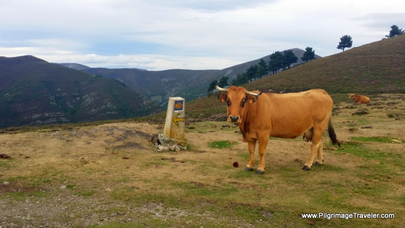Asturian High Altitude Cow along the Hospitales Route of the Camino Primitivo