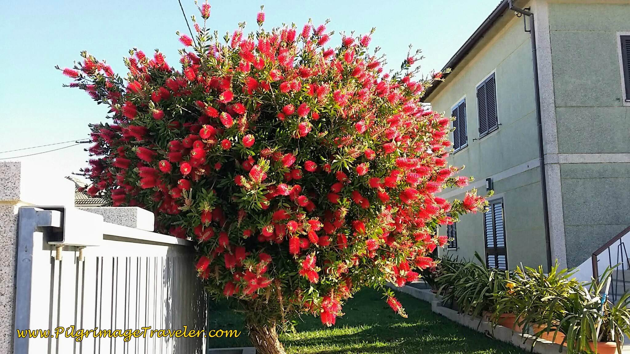 Gorgeous Bottle Brush on day seventeen of the Portuguese Way