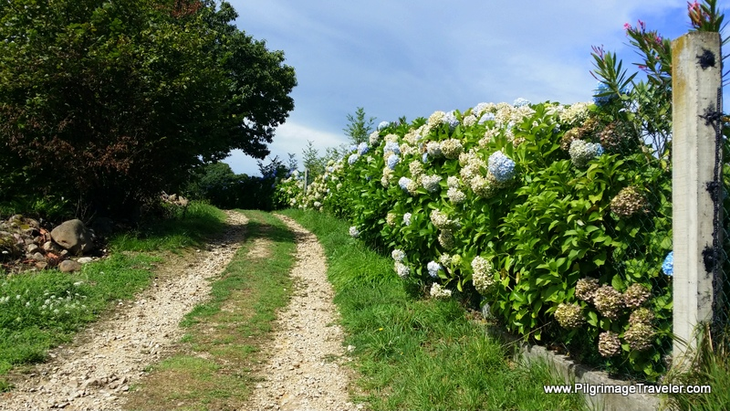 Country Path Lined With Hydrangeas, Camino Primitivo, Asturias, Spain
