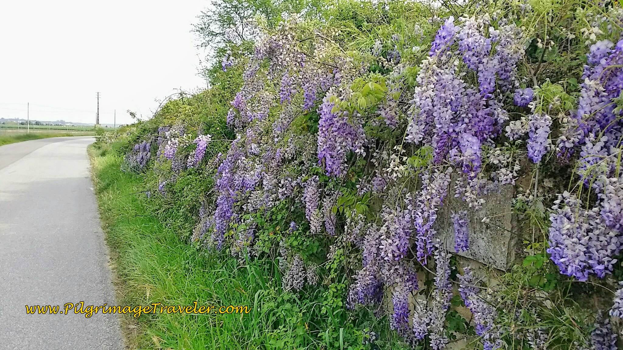 Wild Wisteria Along the N3-3, Renguengo, Portugal