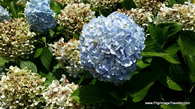 Hydrangea Close-Up, Camino Primitivo, Asturias, Spain
