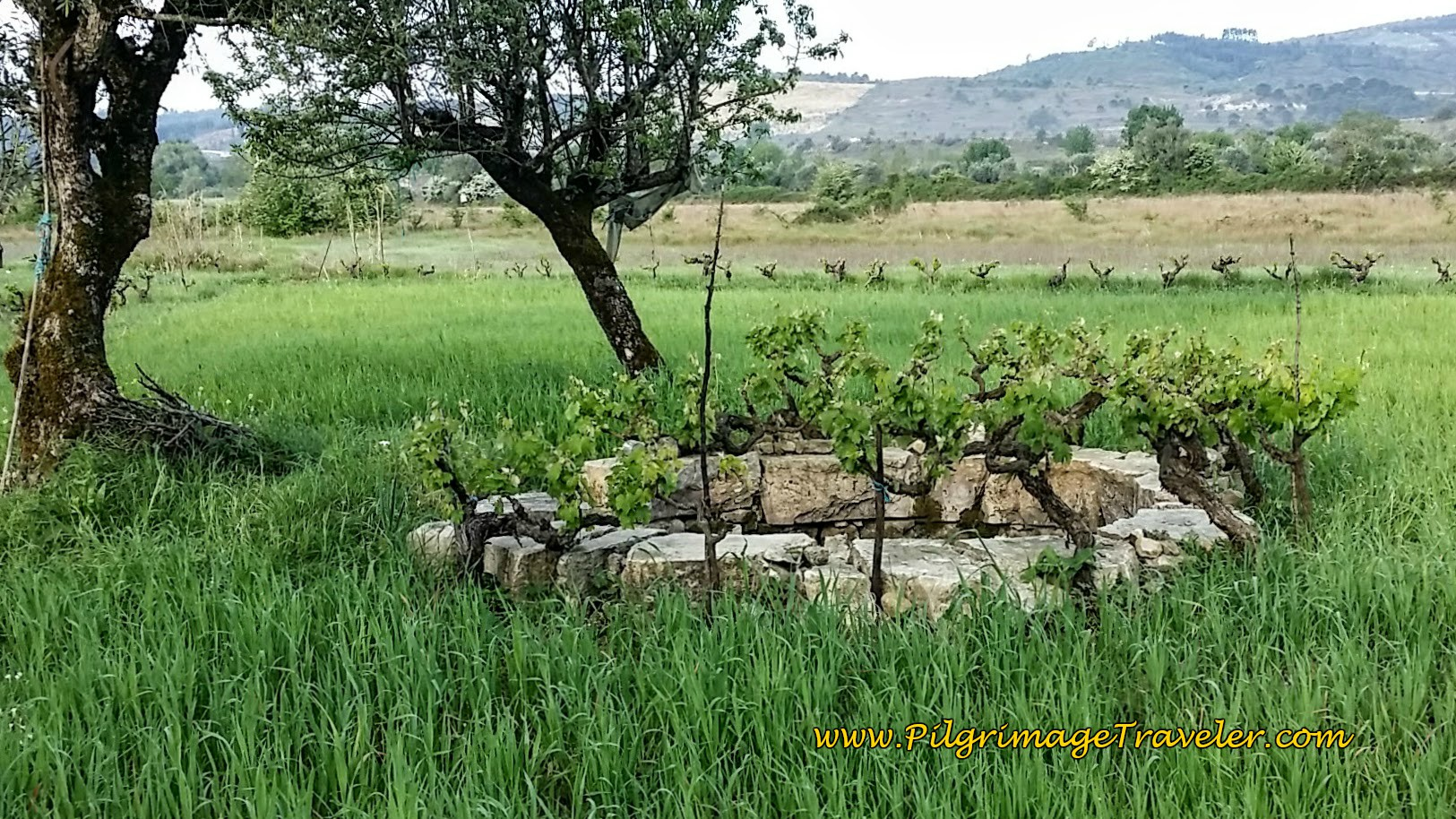 Old Well Surrounded by Grapevines