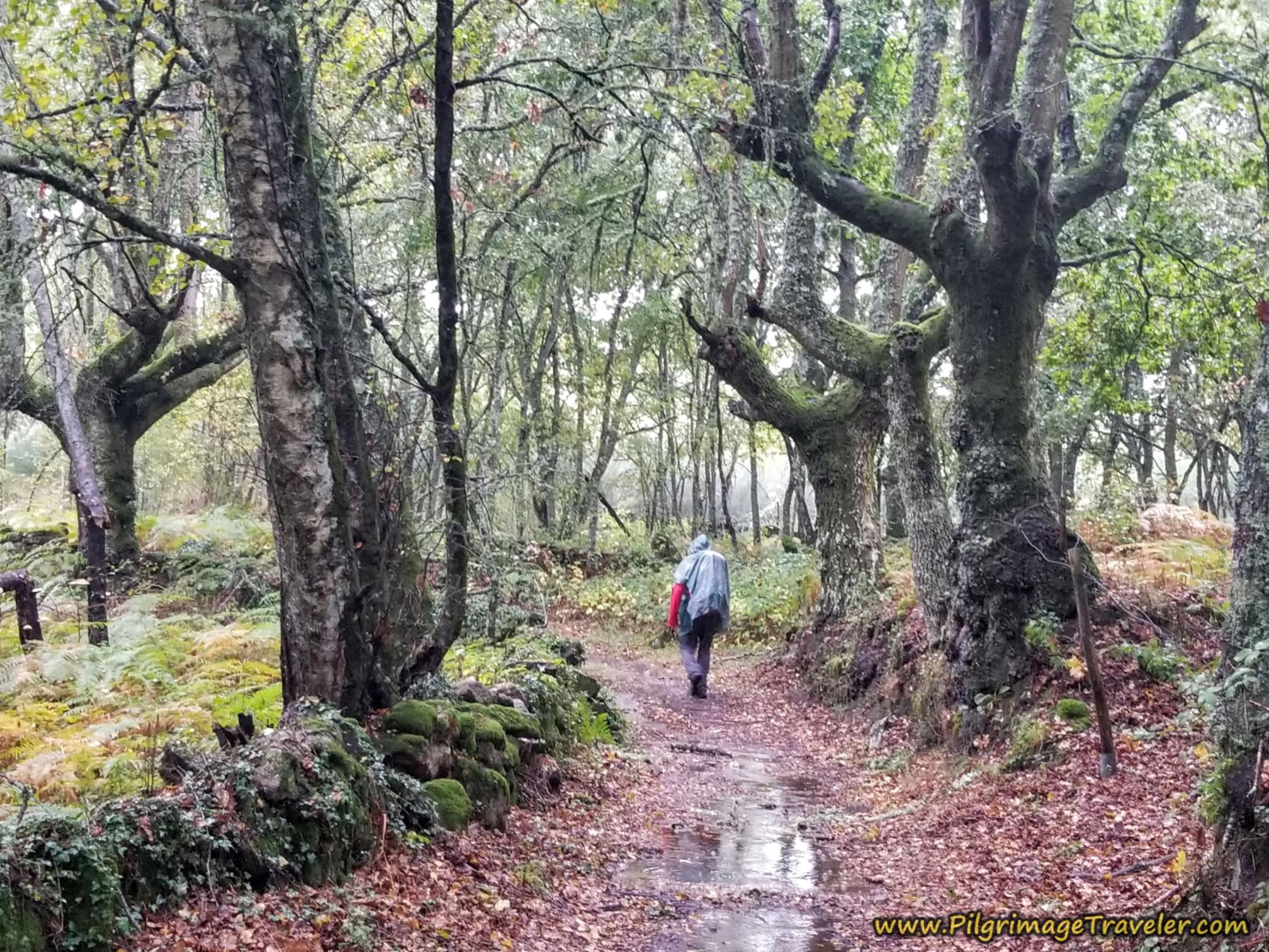 Wet Forest Walk, Camino Sanabrés, Vilar de Barrio to Xunqueira de Ambía