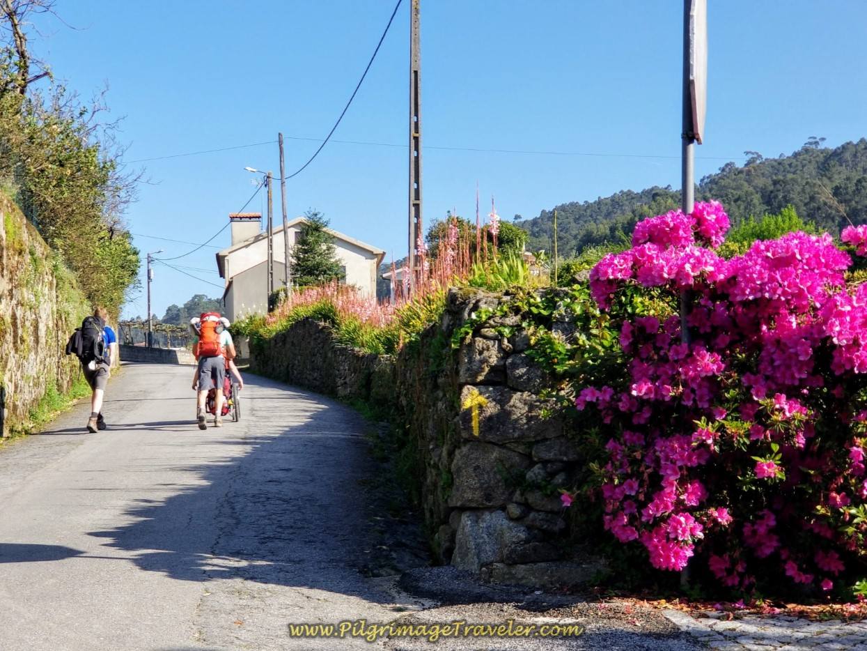 Azaleas on the Rua da Cruz near Tamel on day seventeen on the Central Route of the Camino Portugués