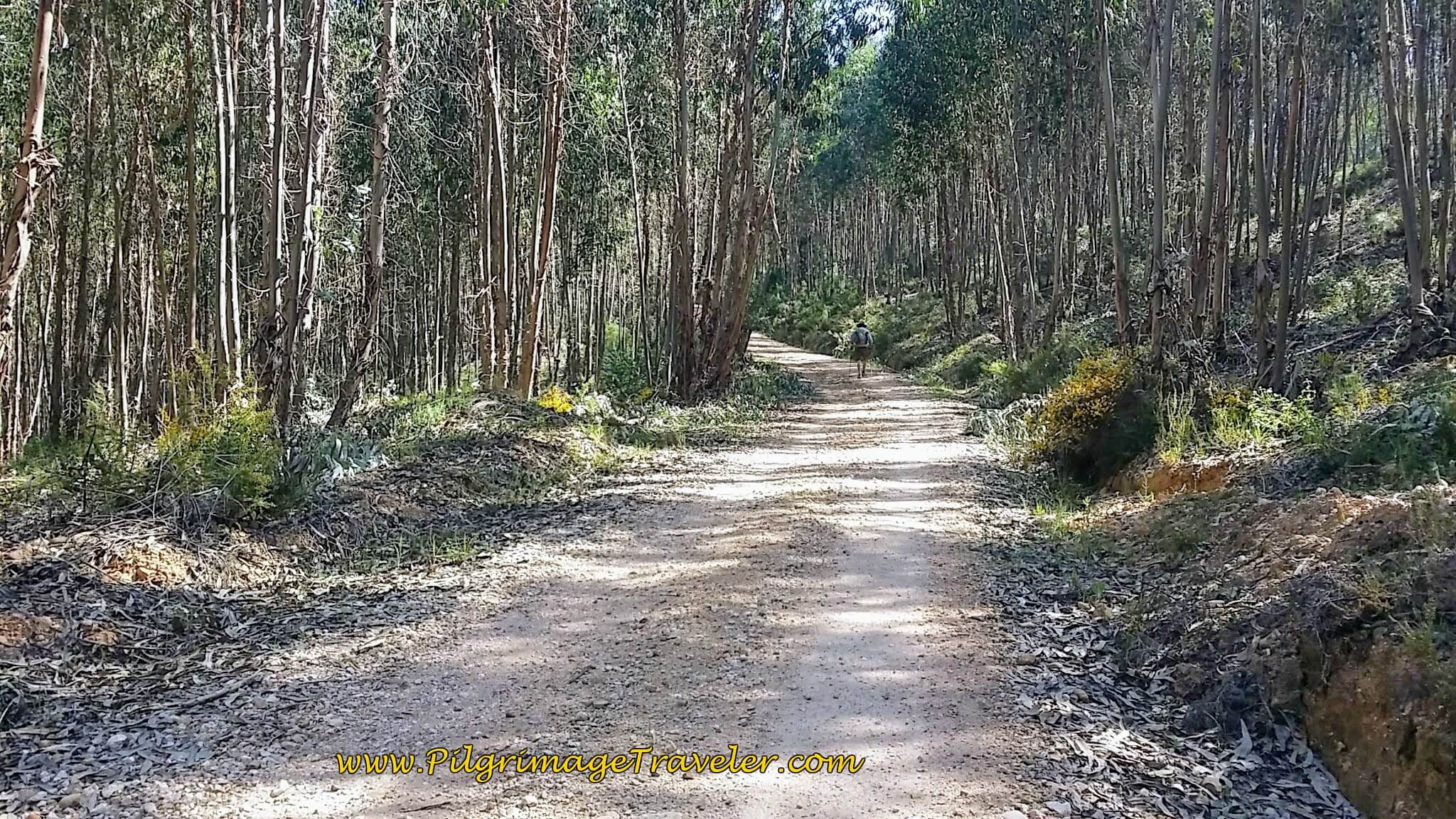 Climbing Toward Grou in the Eucalyptus Forest on the Portuguese Camino