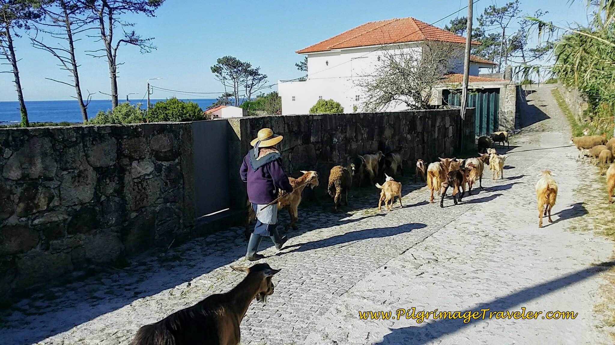 Goatherd Shares the Avenida de Montedor on day eighteen of the Portuguese Way on the Senda Litoral