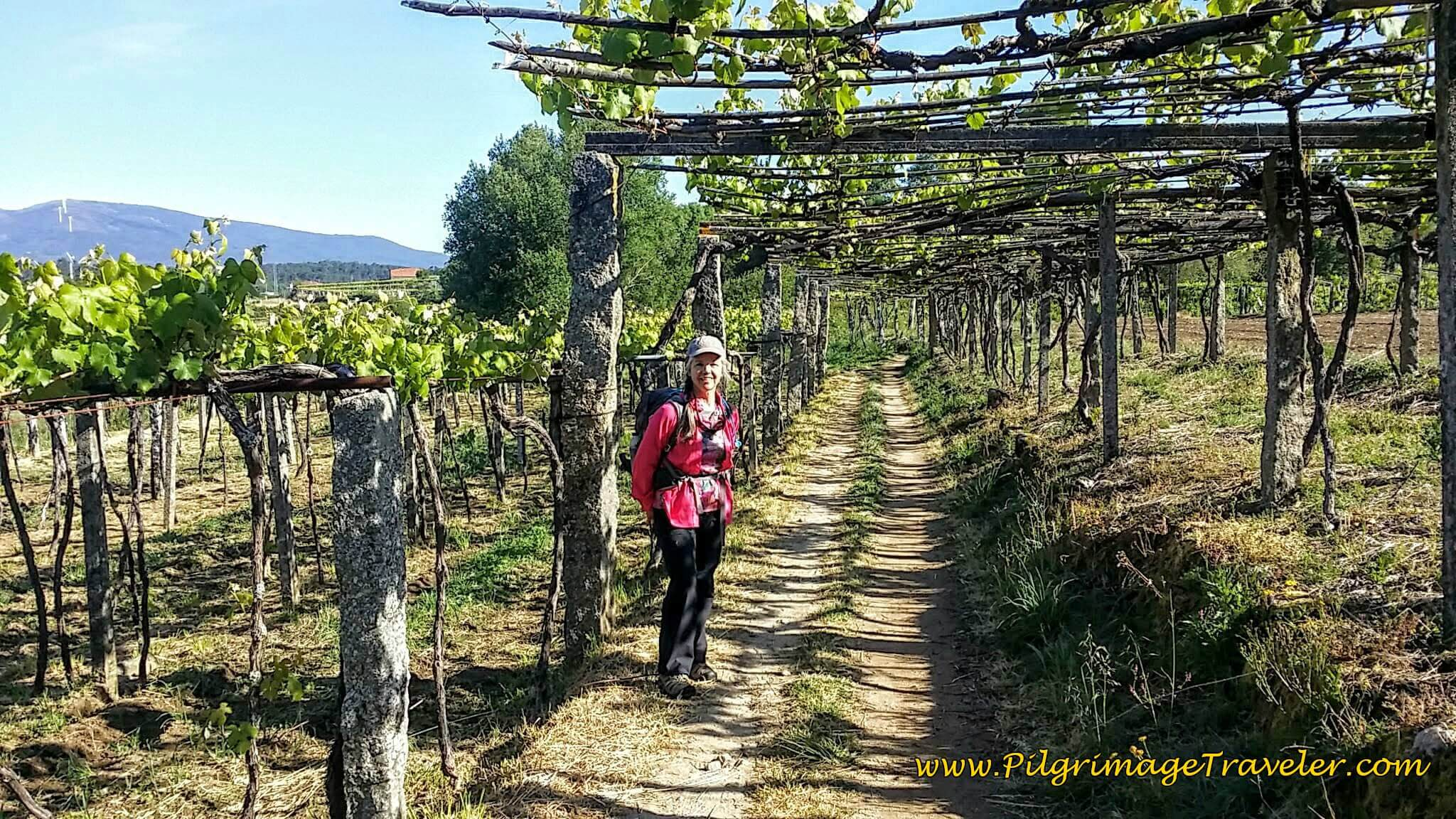 Elle on Tractor Lane Through Grape Arbor on day twenty-three, Camino Portugués