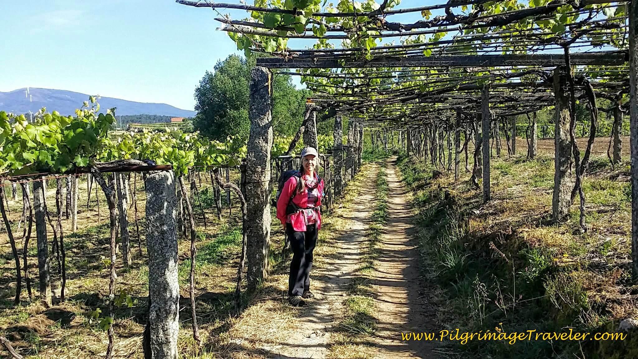 Elle on Tractor Lane Through Grape Arbor on day twenty-three, Camino Portugués