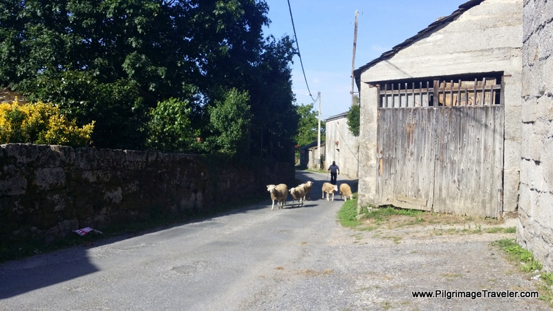 Sheep Being Herded Through Vila de Cas, Galicia, Spain