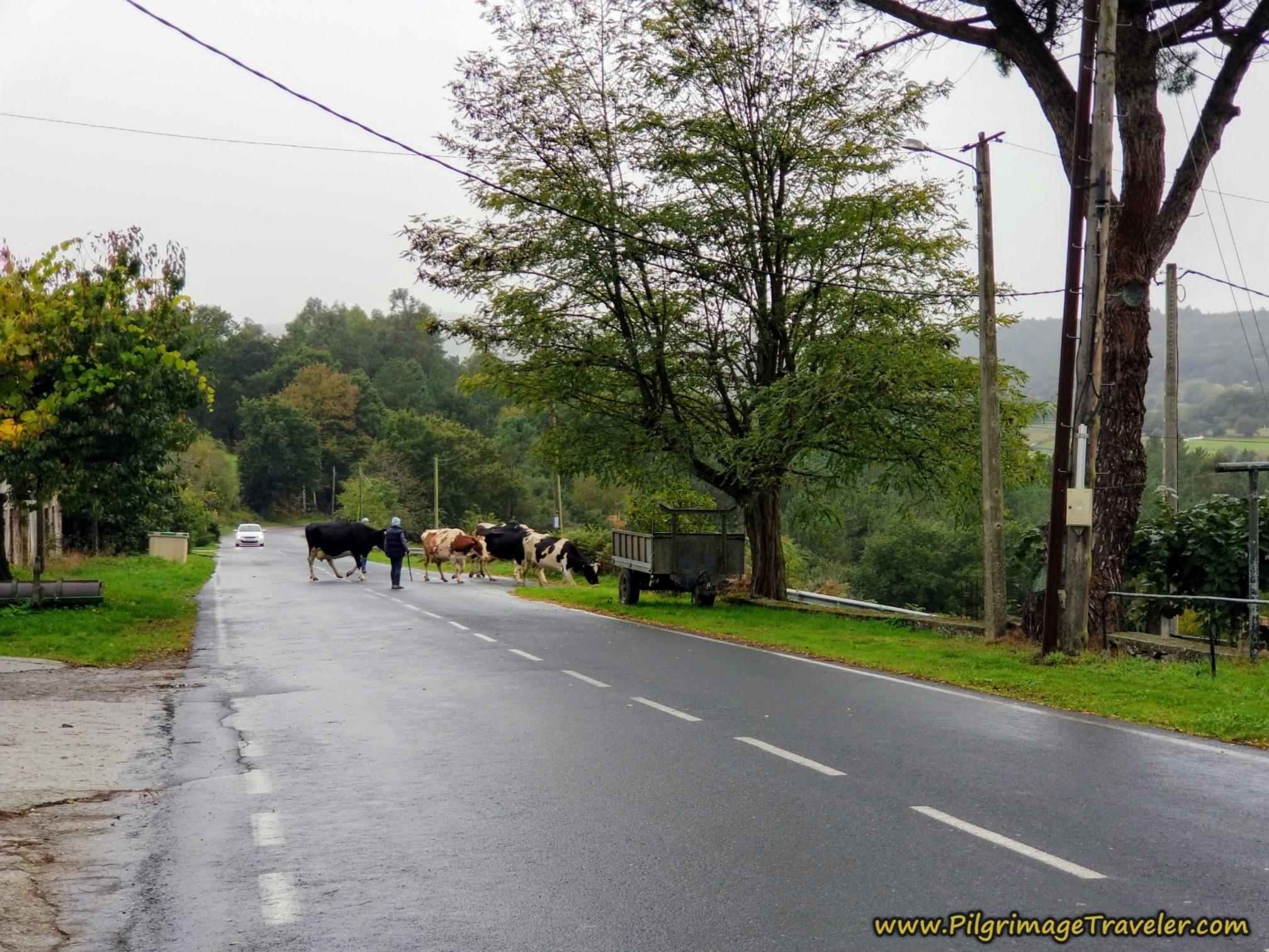 Cow Crossing in Borralla, Camino Sanabrés, Estación de Lalín to Bandeira