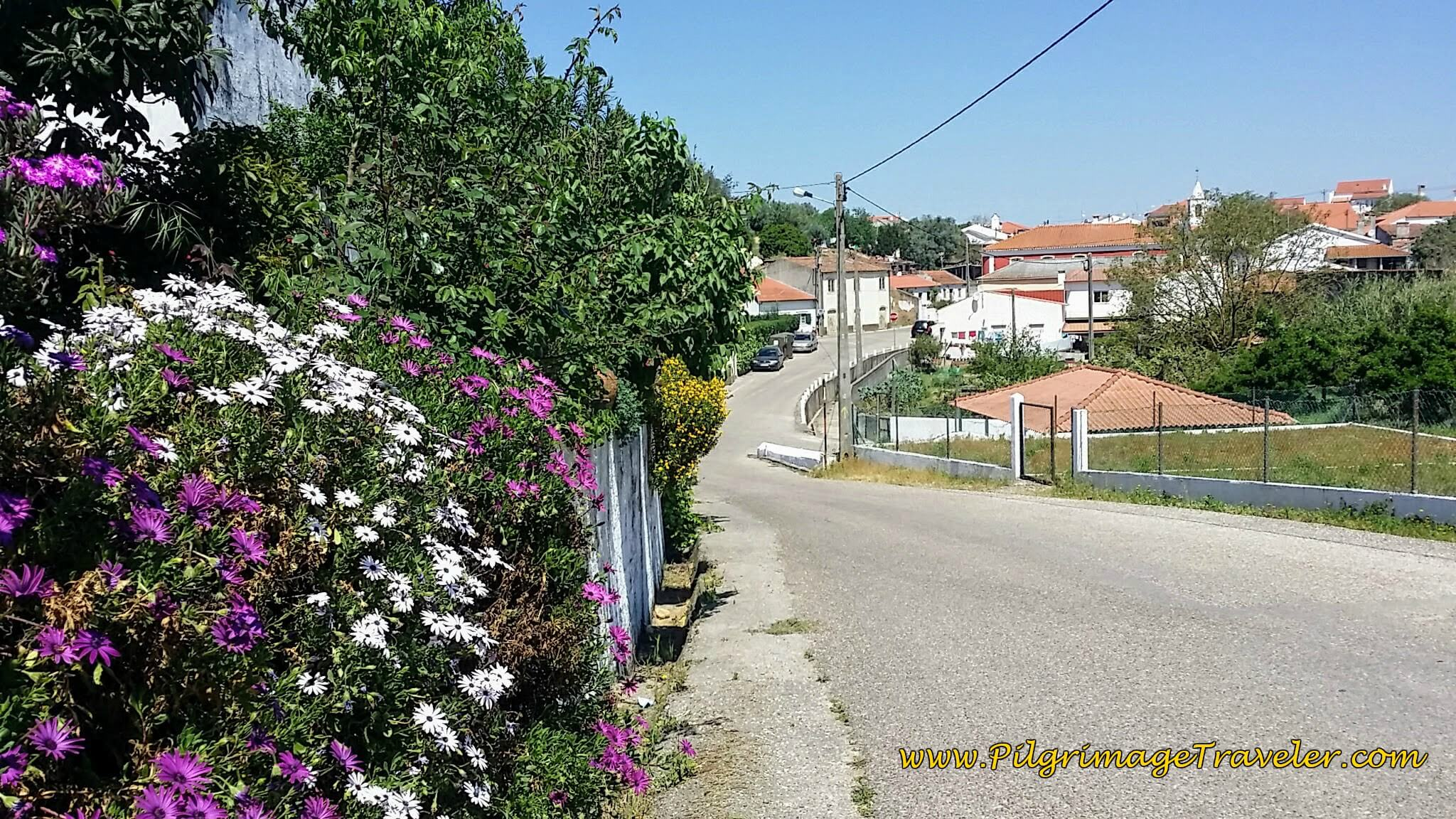 Asters Liven the Way Through Asseiceira