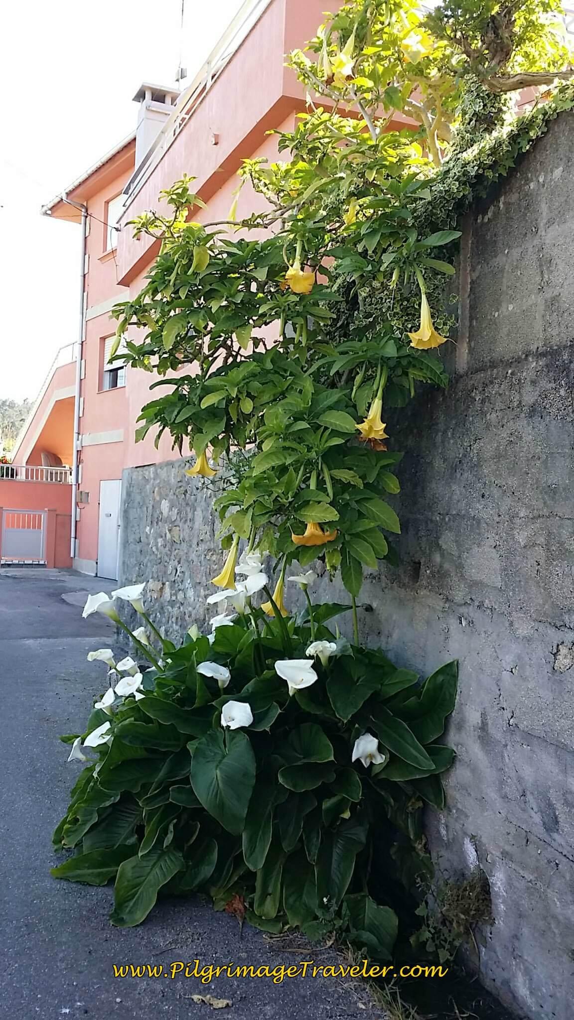 Trumpet Vine and Calla Lilies on day twenty, Camino Portugués da Costa