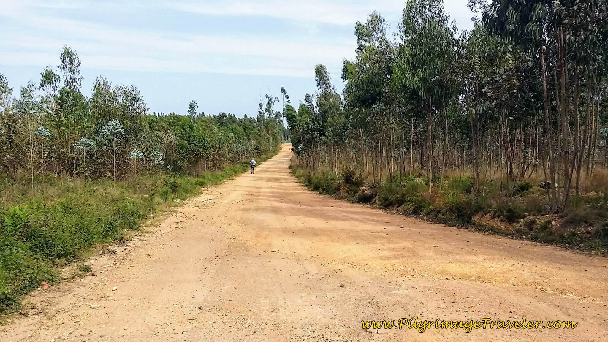 Eucalyptus-Lined Road on day twelve of the Camino Portugués