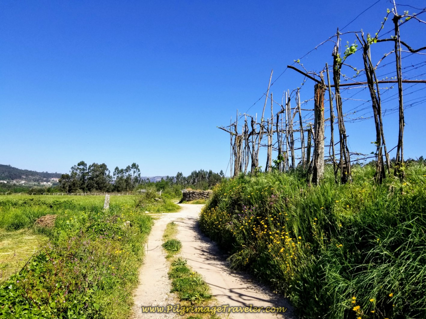 Lane Follows Vineyard on day seventeen on the Central Route of the Portuguese Camino