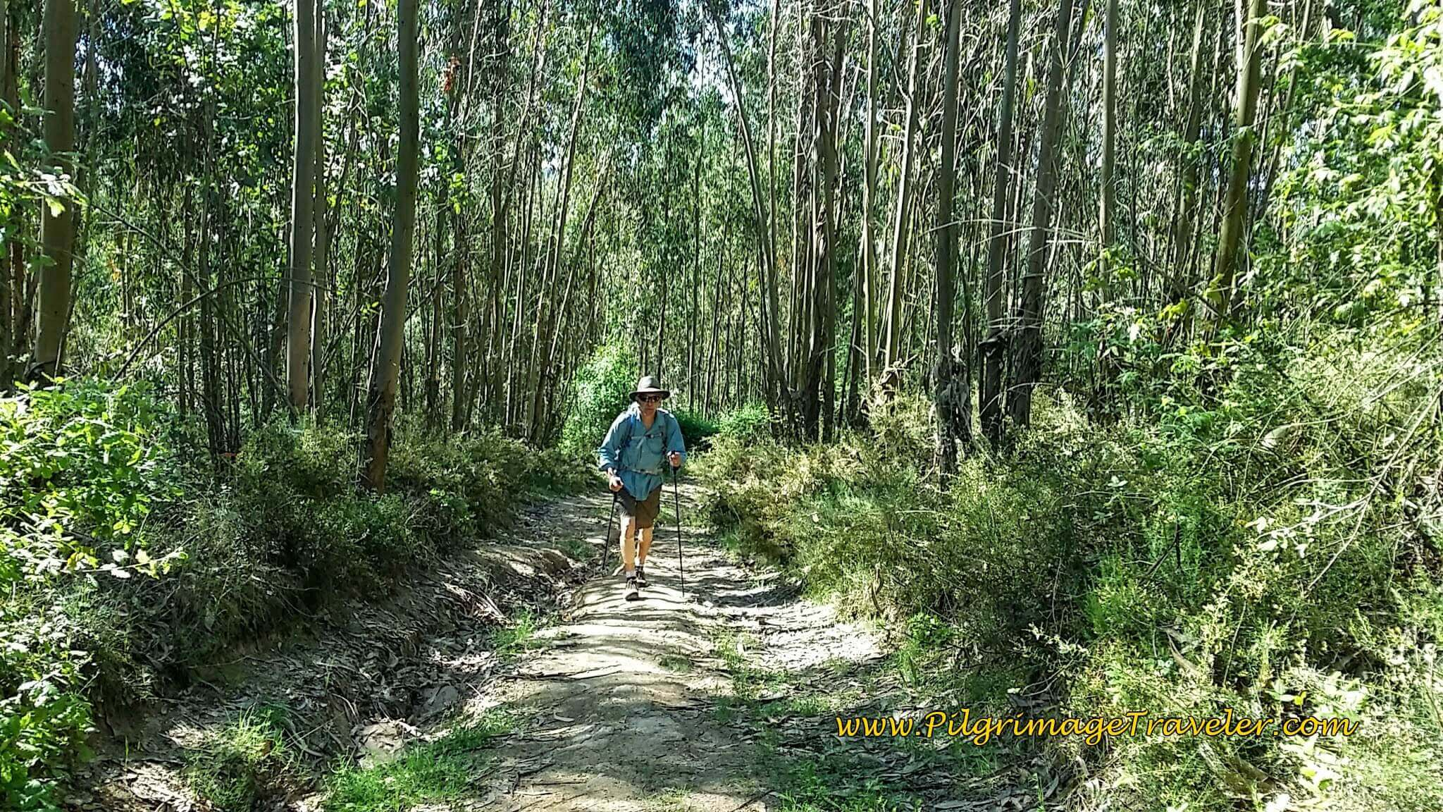 Climbing Through the Eucalyptus Forest