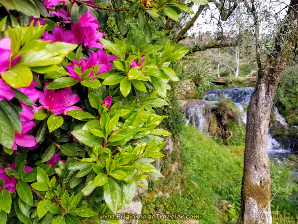 Azalea Bush and Waterfall on day eighteen on the Central Route of the Portuguese Camino