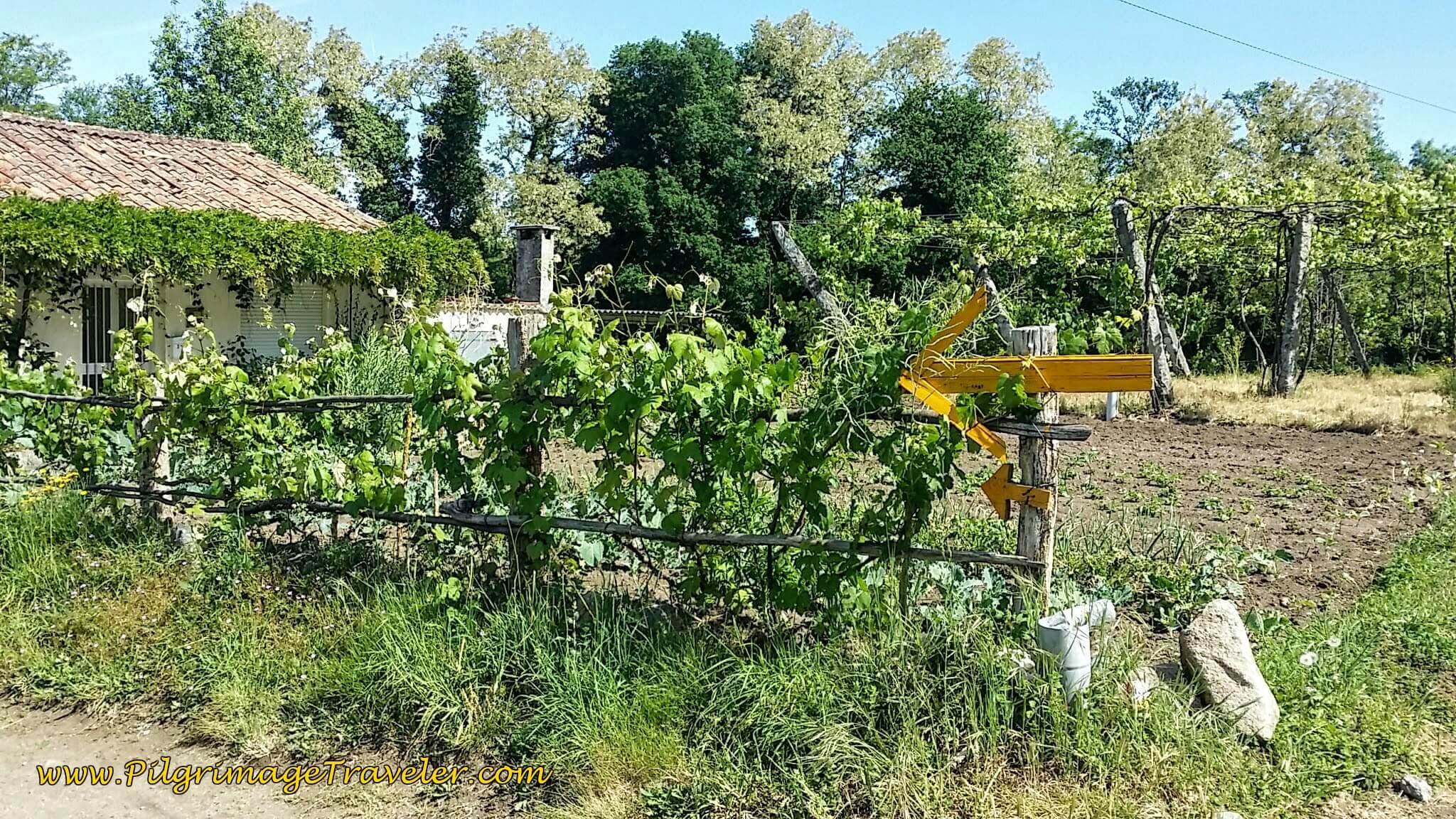 Unique Yellow Arrow to Picaraña on Day Twenty-Four, Portuguese Camino