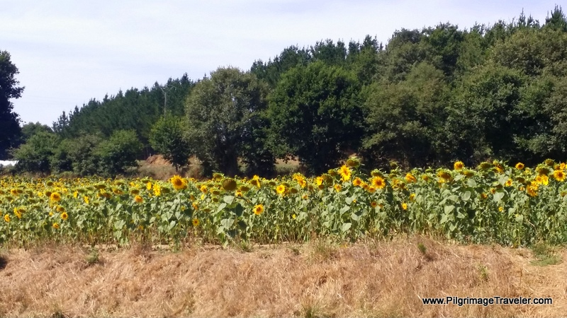 Sunflowers in Galicia, Spain