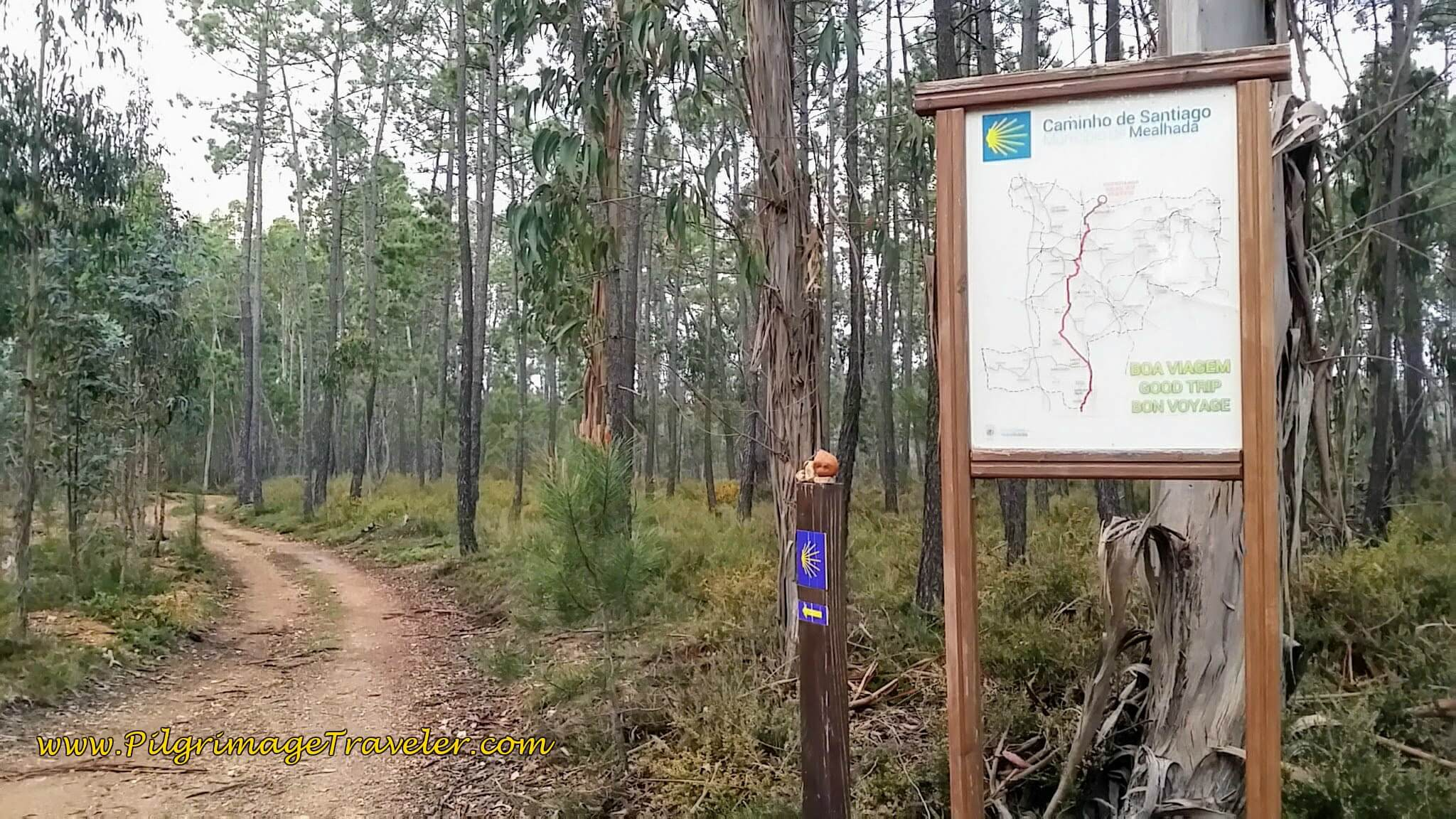 Turn Left into the Eucalyptus Forest on day eleven of the Camino Portugués