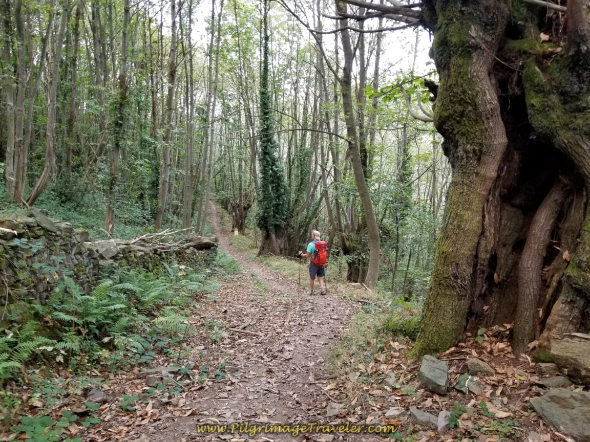 Pass Through Glorious Old Trees on day four on the Camino de San Salvador