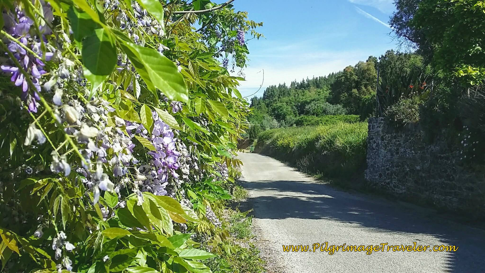 Wisteria on Country Lane