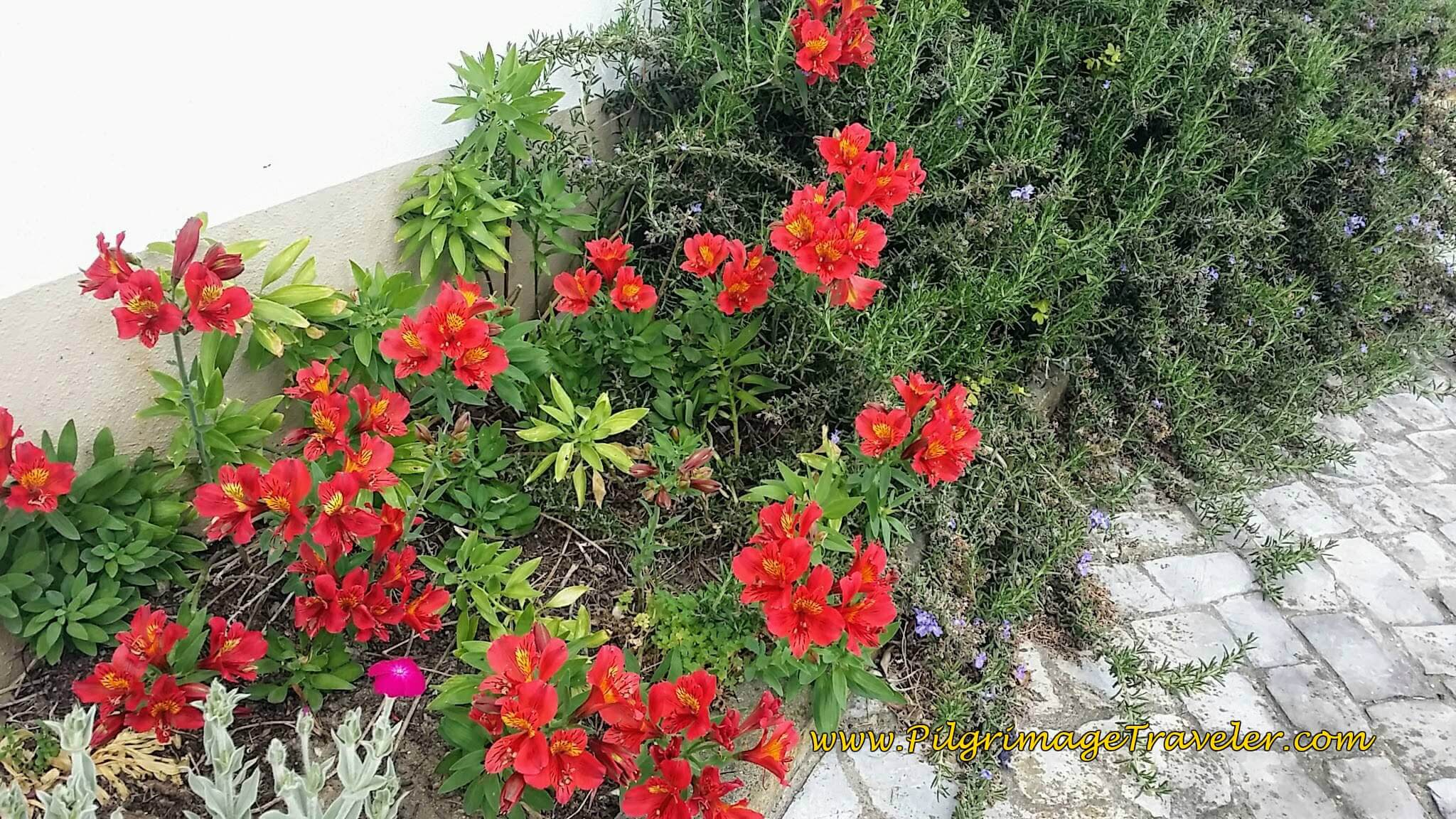 Gorgeous Alstroemeria in Lendlosa, Portugal