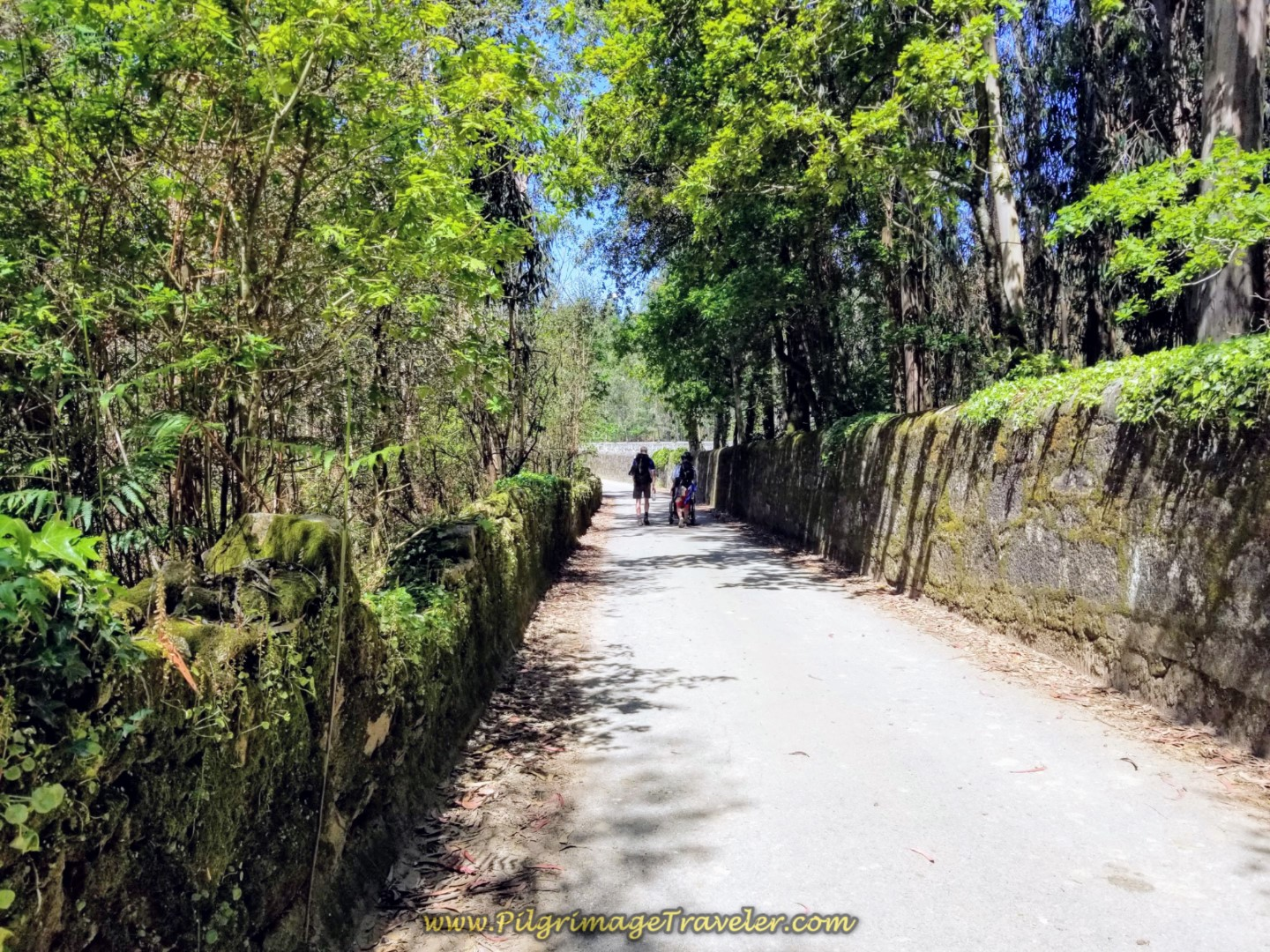 The Lovely, High-Walled Rua de Ferrado on day sixteen on the Central Route of the Portuguese Way
