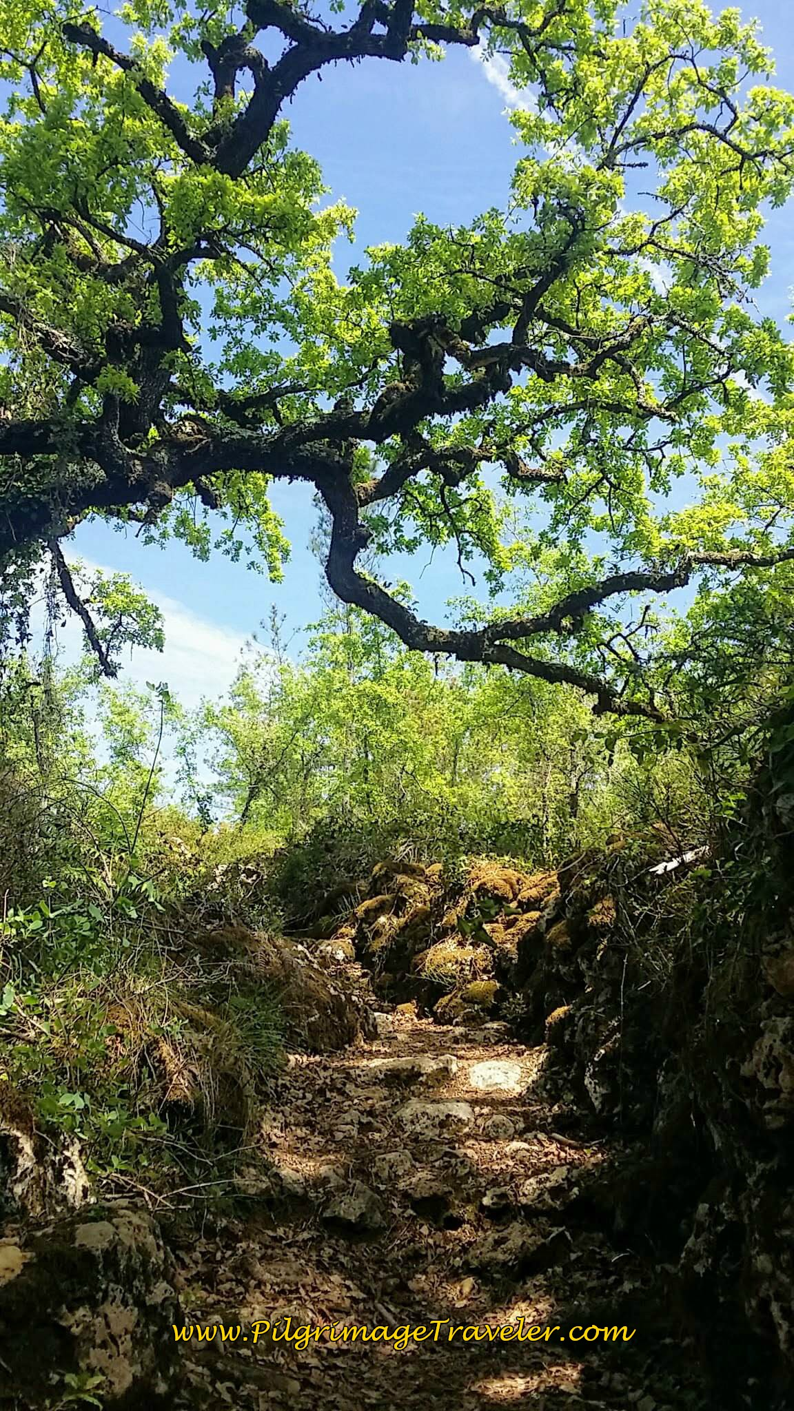 Large, Knarled and Enchanted Trees on Path on day seven of the Camino Portugués