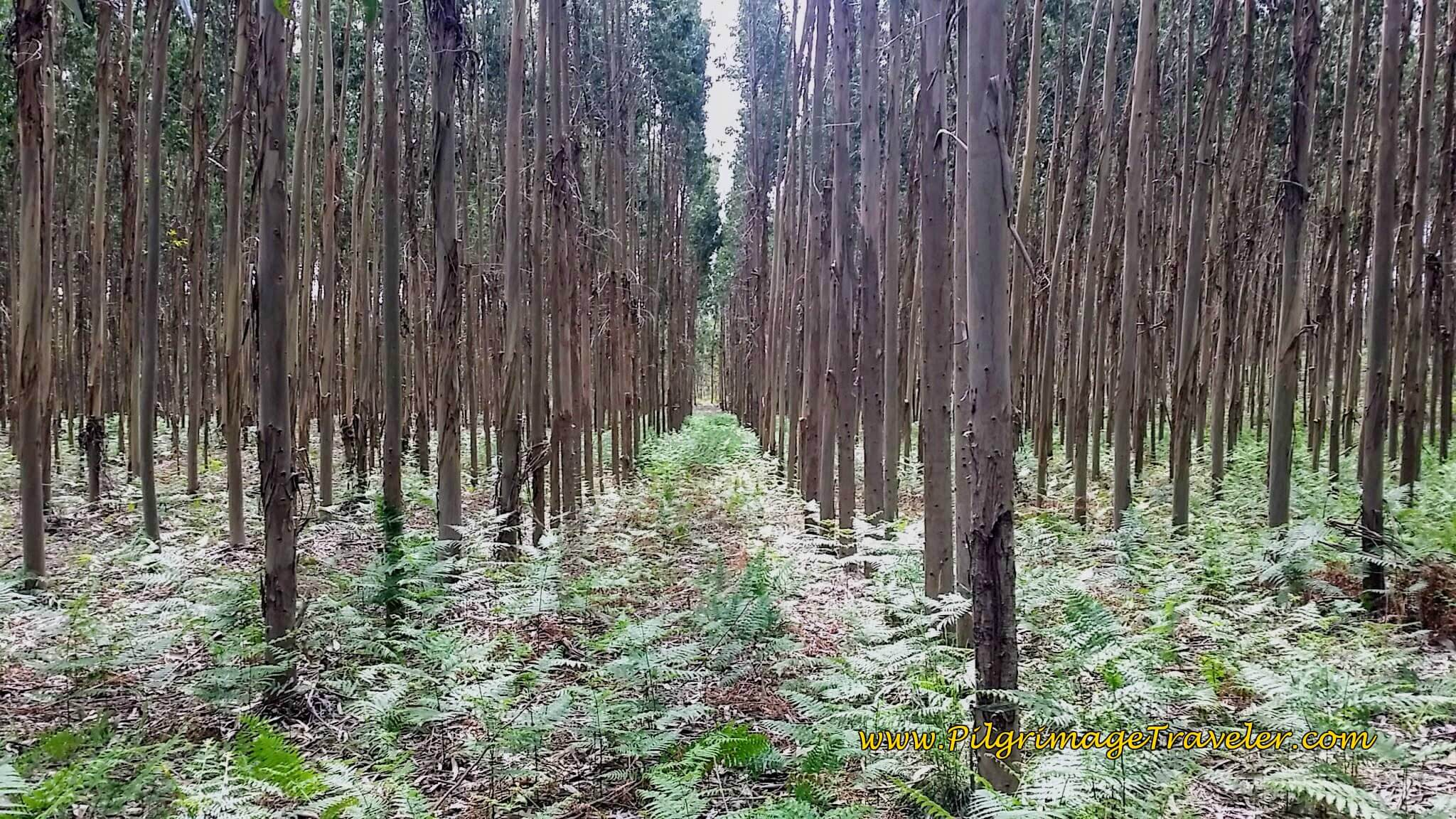 Straight Rows of Commerical Eucalyptus Forest on day twelve of the Camino Portugués