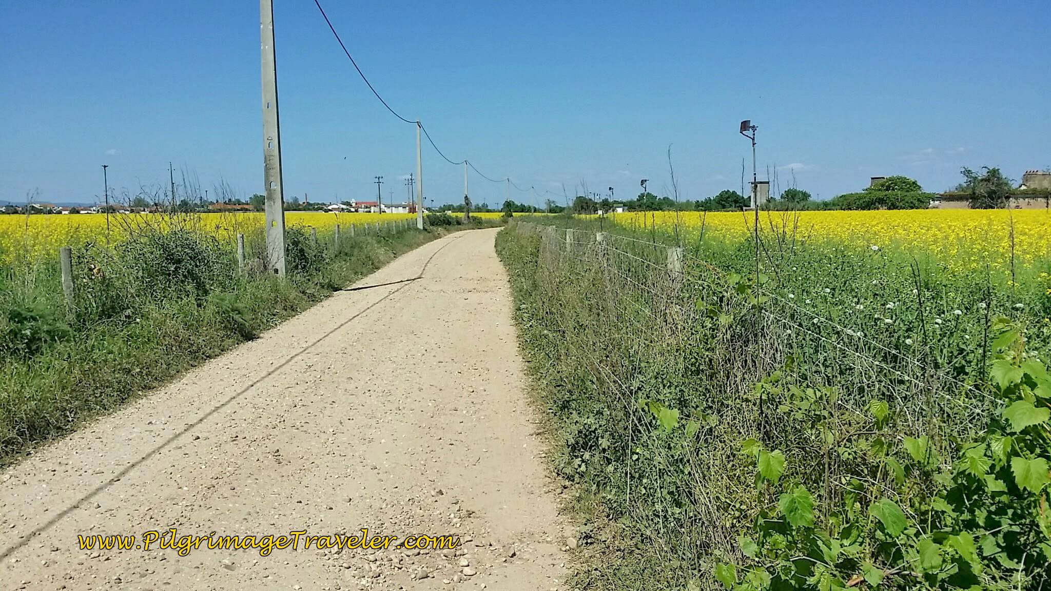 Fields of Gold, Rapeseed on the Camino Portugués