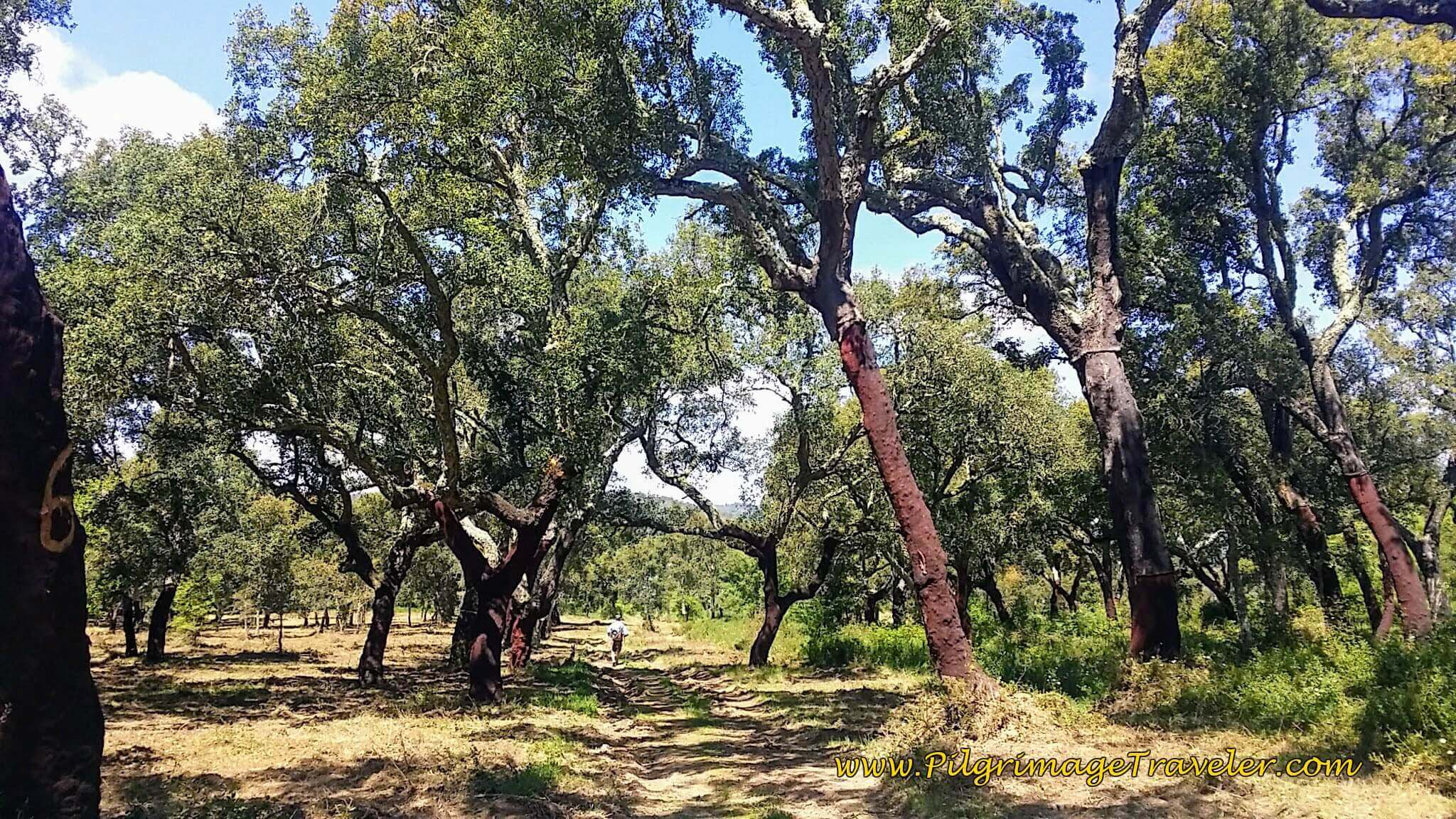Through the Cork Oak Forest