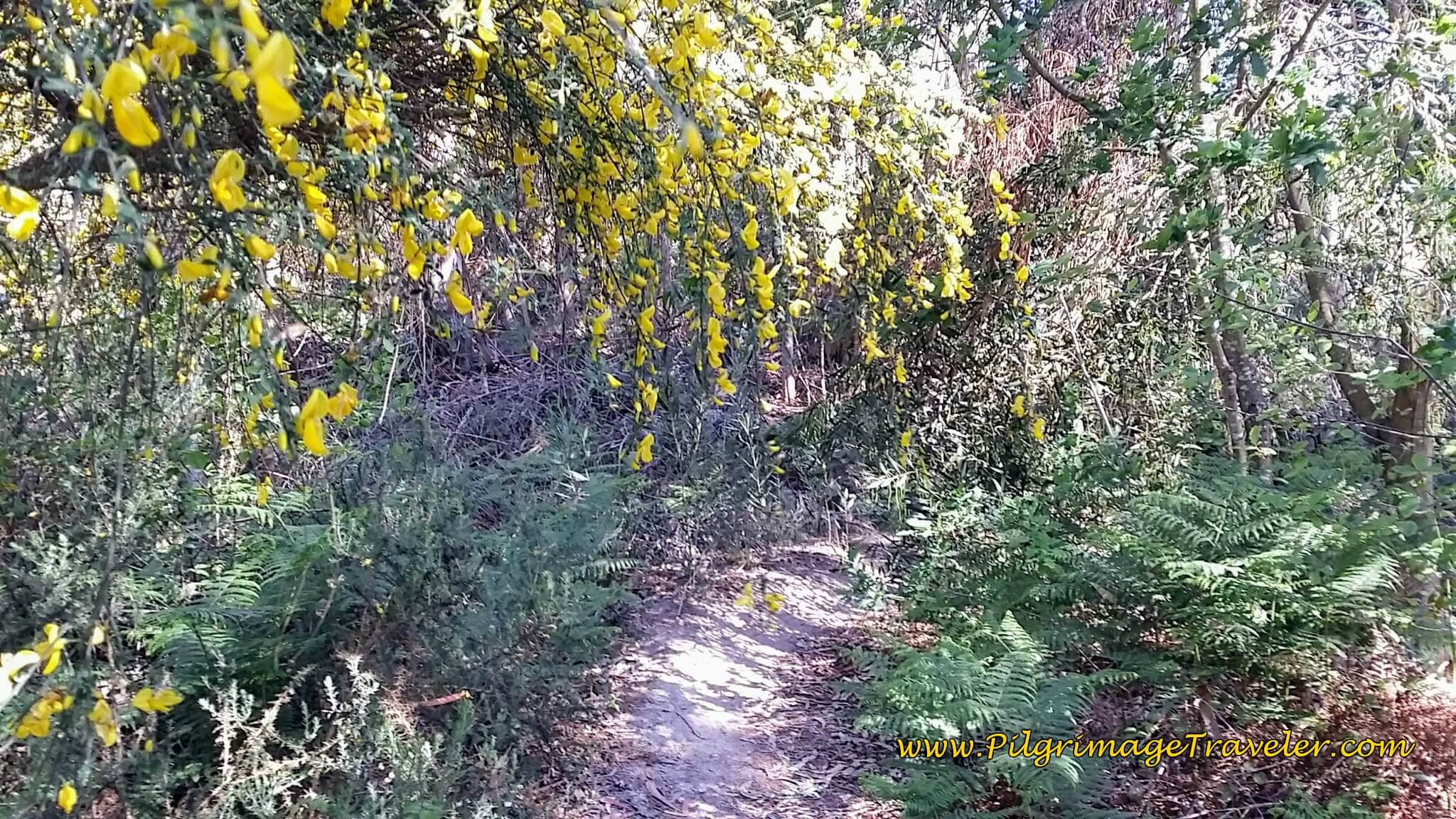 Flowering Tree on the Single Track Through the Woods on day Seventeen of the Camino Portugués